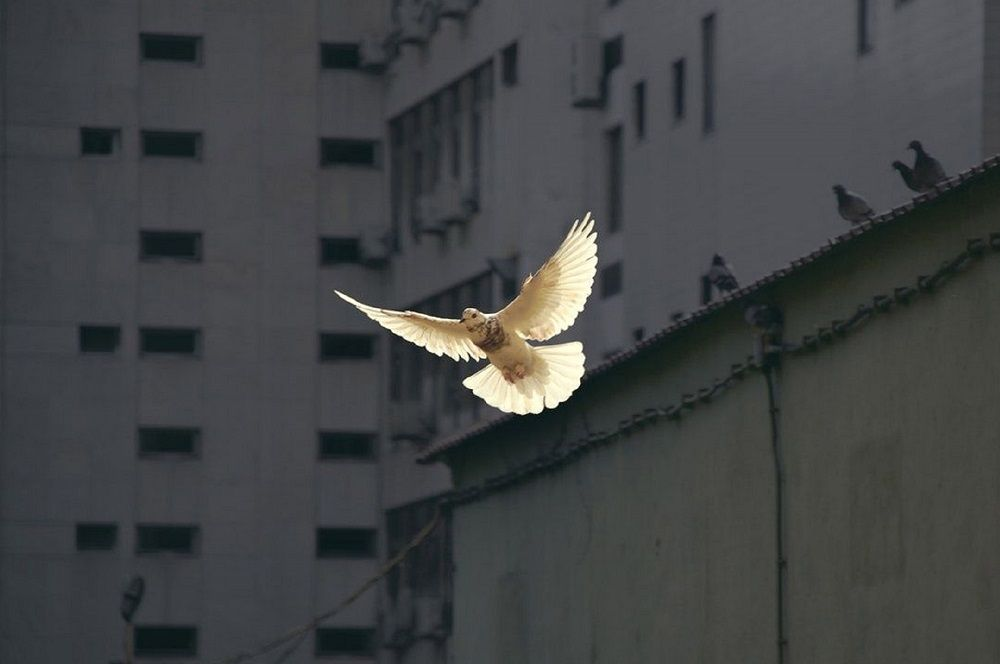 Dove flying in the city